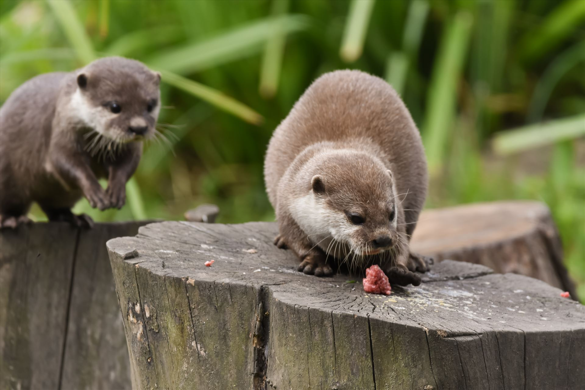 Asian short clawed otter - Asian short clawed otters at Washington WWT by philreay