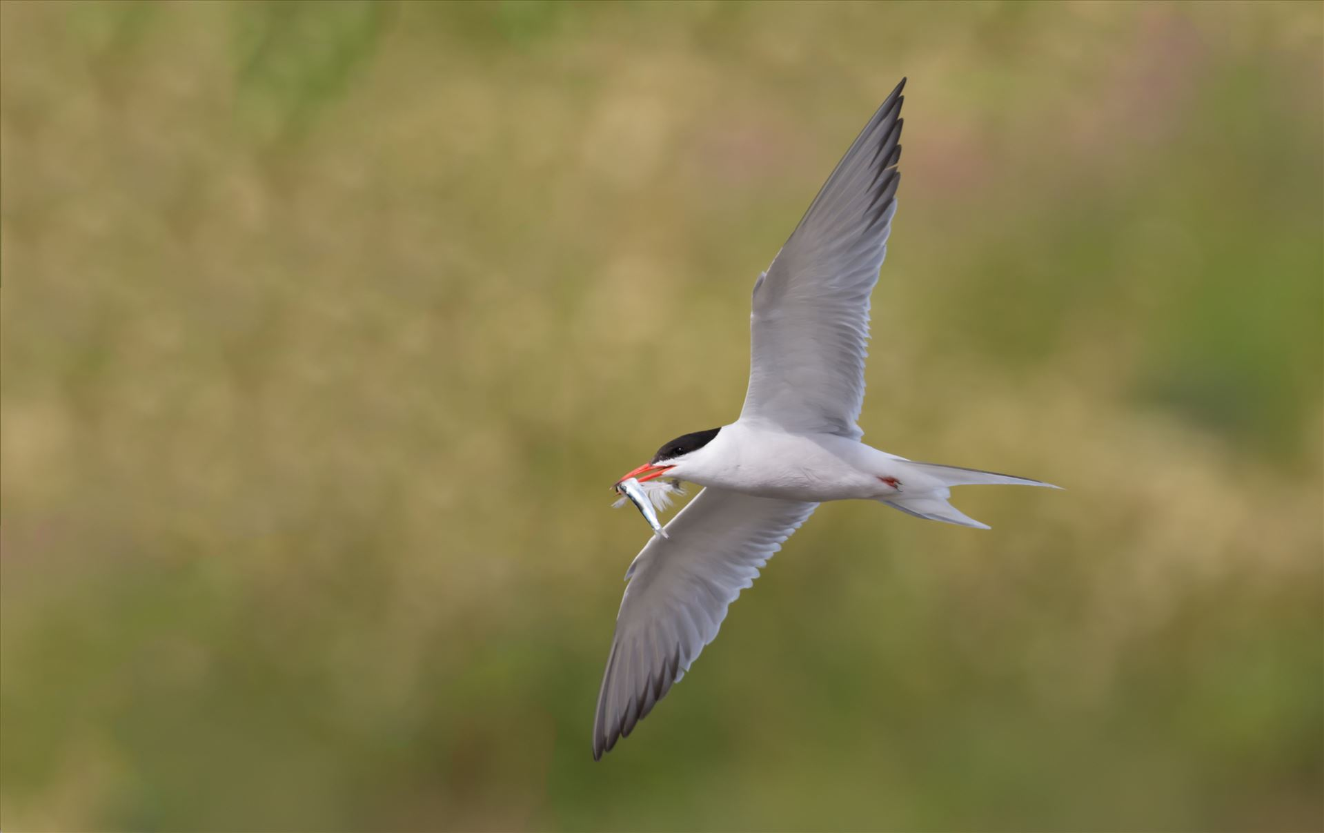 Common Tern -  by philreay
