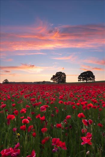 Poppy fields nr Aydon Castle, Northumberland 2 -