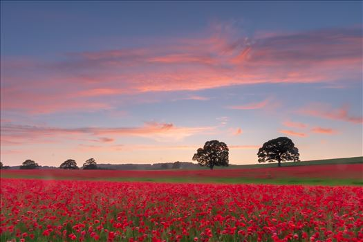 Poppy fields nr Aydon Castle, Northumberland 1 -