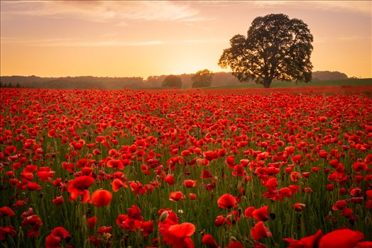 Poppy fields nr Aydon Castle, Northumberland 4 -